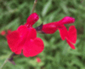 Scarlet Sage, Tropical Sage, Blood Sage, Texas Sage / Salvia coccinea